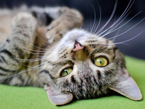 I Gatti ci guariscono e proteggono il nostro Spirito